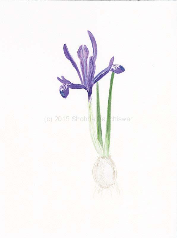 Iris Reticulata.jpg