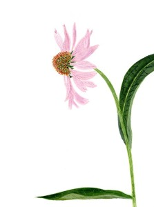 Echinacea in watercolr