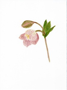 Hellebore in watercolor