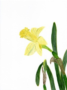 Daffodil in watercolor