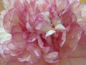 Close-up of tree peony