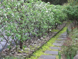 Creeping Jenny on sidepath and beneath espalier