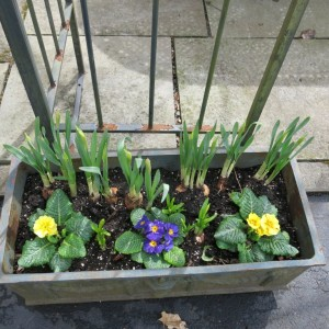 Primroses with daffodils in pots