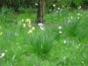 Daffodils in meadow