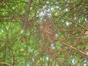 Cardinal nest amidst the limbs of Paul's Himalayan Musk.  I know its not a good picture but its the closest I could get to it without the thorns tearing into my skin.