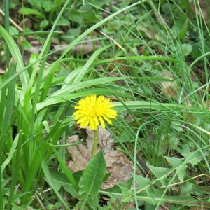 The much maligned dandelion is made very welcome in my meadow.