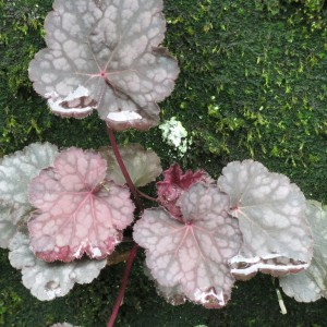 Close-up of heuchera against a backdrop of moss.