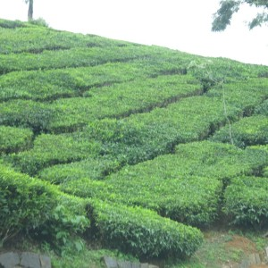 Tea plantation - Conoor, India