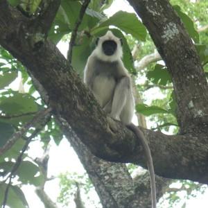 Langur monkey - Modhumalai preserve, India.