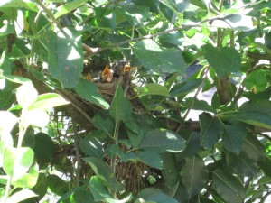 Baby robins in the espaliered apple trees
