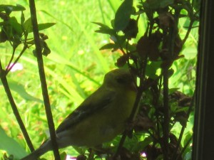 Goldfinch within the buddleia