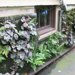 My vertical garden of ferns and heuchera