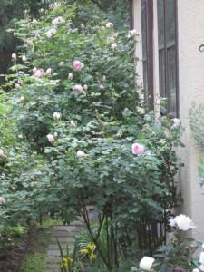 Epsom salt fed roses