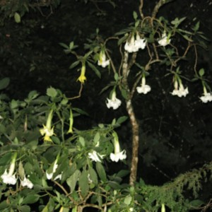 Brugamansia flowers awaiting moths in the dark of the night.