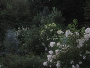 White flowers illuminating the dusk in my friend Ron's garden.
