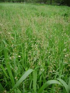 Hierochloe-odorata-Sweet-Grass-field