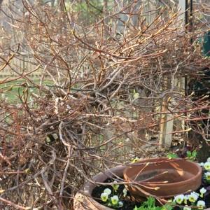 Climbing hydrangea with plumules