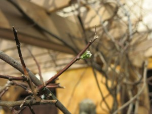 American wisteria emerging from hibernation