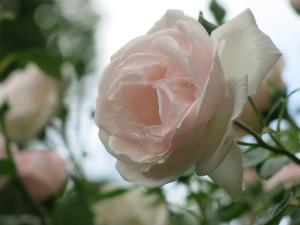 Bonus picture! A New Dawn rose in my garden.