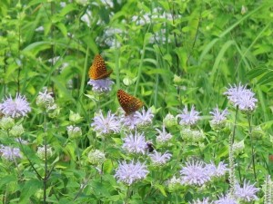 The native monarda is a huge draw for all sorts of pollinators