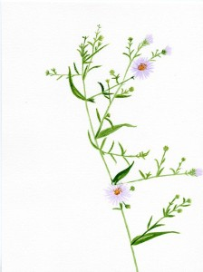 Watercolor - Aster