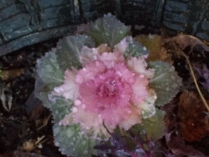 Today's rain on yesterday's ornamental cabbage
