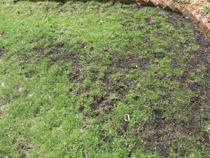 Reseeded lawn