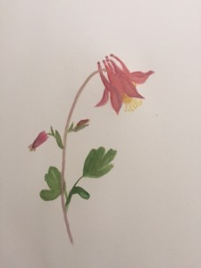 Aqualegia canadensis