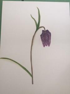 Frittilaria meleagris